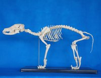 animal medical equipment - China factory hot sale medical veterinary educational pvc material animal skeleton model lab equipment best price