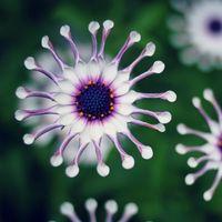 Семена цветущие Цены-Популярные Ice Семена растений Семена Daisy 200 штук в упаковке Удивительные Красивые Странные семена цветов Две недели до вашего дома