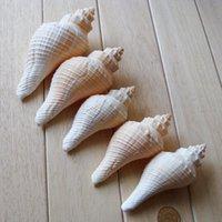 beautiful conch shell - The shell was small conch screw tip beautiful natural conch aquarium Piaochuang platform