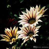 Wholesale Non Hybrid Gazania Flower Seeds Flower Richly Flowering Garden