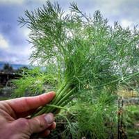 beautiful gardener - Heirloom Dill Seeds Yellow Beautiful Flower for New Experienced Gardeners
