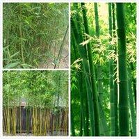 al por mayor árbol bonsai-50 semillas de la herencia de bambú chino Bonsái casi no necesitan de atención