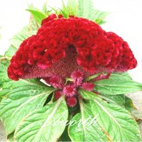 annual garden plants - Giant Red Cockscomb Flower Seeds Easy growing DIY Home Garden Annual Flowering Plant High Germination Rate