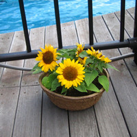 sunflower seeds - 20 Dwarf Sunflower Helianthus Annus Flower Seeds