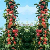 Wholesale 20seeds bag Apple seeds potted tree courtyard potted plant seeds