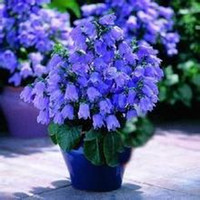 bellflower flower - 120 pieces Campanula seeds potted seed Bonsai flower seed variety complete the budding rate Bellflower bags per