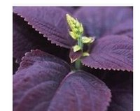 basil leaves - 500pcs a set Purple color basil leaves seed HOME GARDEN DIY GOOD GIFT FOR YOUR FRIEND Please cherish it