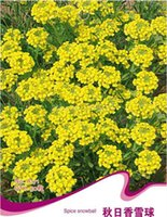 alyssum plant - Spice Snowball Seeds Lobularia Maritima Autumn Alyssum Flower Plants A171