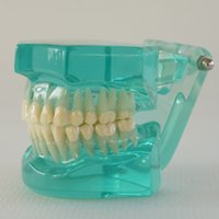 Wholesale DV6 Plastic dental Standard transparent Teeth model Nature Size This model now only Blue color
