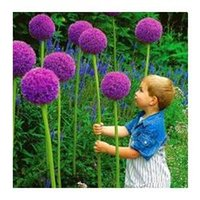 allium garden - Rare flower bag Giant Onion Allium giganteum seed beautiful flower bonsai plant home garden