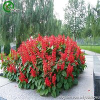 Wholesale Red sage Seeds Rare Flower Seeds DIY Home Garden plant Easy to Grow Particles Q034
