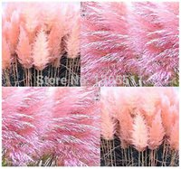 Wholesale 400 mixed colors Pampas Grass Seeds Cortaderia selloana makes a notable focal point in a garden fast growing Ornamental Grass