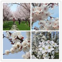 apricot tree planting - 5seeds bag Hot sale new home garden plant apricot seeds fragrant flowers in spring
