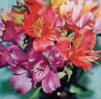 alstroemeria seeds - 25 seeds pack ALSTROEMERIA DR SALTERS MIX FLOWER SEEDS PERUVIAN LILY PERENNIAL