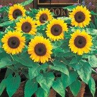 annual flower garden - 20DWARF SUNFLOWER Seeds Annual Flower Garden Seeds Shorter Variety very beautiful DIY garden
