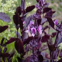 basil herb plant - 50 Basil Seeds Ocimun Rare Herb Garden Plant Green Leafs DIY your Garden