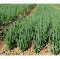 Wholesale 500 Bag Onion Seeds Four Seasons Small Chives Seeds Vegetable Seeds Garden Potted