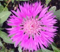 bachelor buttons - 400 Pink Cornflower Flower Seeds or Bachelor Button Flower Seeds Centaurea Cyanus