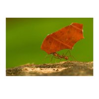 ants craft - Diamond embroidery painting Leaf cutter ant carries a red leaf in Corcovado stitch rhinestone mosaic crafts painting E645