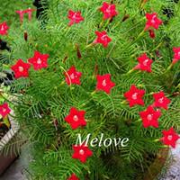 Wholesale 20 Red Cypress Vine Flower Seeds Star Glory Hummingbird flower Ipomea Quamoclit