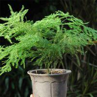 asparagus garden - Balcony plant Asparagus fern seeds EVERGREEN HOUSE PLANT POT PERENNIAL BONSAI garden decoration plant C03