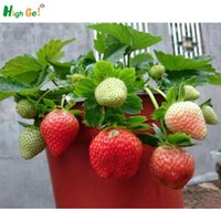 Wholesale 2016 Direct Selling Indoor Plants strawberry Rare Color Fruit Seeds Home Garden Diy For Bonsai