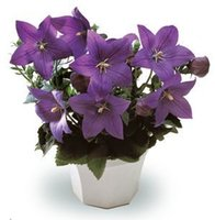 balloon flower plant - Balloon Flower Platycodon Grandiflorus Perennial Flower Seeds for planting Easy to grow