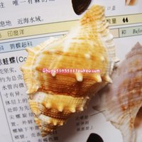 aquarium frogs - Rana frog snail natural small conch conch shells DIY aquarium decoration windows platform
