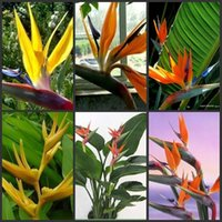 Wholesale 60pcs multicolor Bird of Paradise flower seeds Strelitzia perennial seed Indoor Potted Plant garden decor