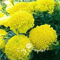 big plant pots - Chrysanthemum Marigold Tagetes Flower Big Flower Seeds Bag Easy to Grow Great Cut Flower or Landscape Bonsai Pot Plant Variety