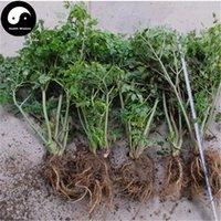 al por mayor chino dong-Comprar Chinese Angelica Sinensis Semillas 150pcs Planta Medicinal Herbal Danggui Crecer Dong Quai