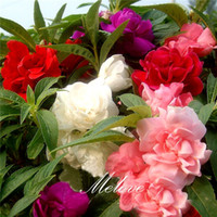 annual flower beds - Double Camellia Impatiens Balsamina Flower Seeds Mix Color Ideal for beds and containers and for cutting Reseed Annual Flowering