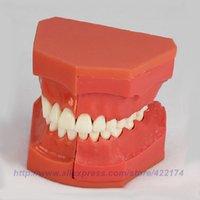 art developments - Dentural development model dental tooth teeth anatomical anatomy model odontologia