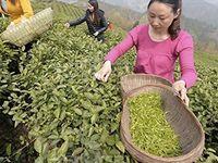 Wholesale High Quality Chinese Organic Jin Jun Mei Golden Eyebrow Top Wuyi Black Tea g