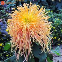 al por mayor crisantemo amarillo-100 PC / bag El crisantemo amarillo anaranjado de los fuegos artificiales raros siembra el crisantemo Morifolium siembra la planta de jardinería de la flor que cultiva un huerto de DIY
