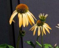 Wholesale 100Pcs a Set Echinacea purpurea rare Seed Home Garden Reasonable Choice Reasonable Price For You Rare Seed