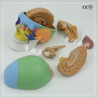 Wholesale Coloured skull model Brain anatomical model Medical skeleton teaching supplies