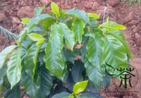 arabica coffee seeds - arden Pots Planters Bonsai Very Popular Cash Crop Coffea Arabica Seeds Coffee Cherry Evergreen Shrub Seeds Widely Cultivated Mou