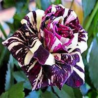 Wholesale Cheap Purple Dream Rose Flower Seeds Seeds Per Package Balcony Potted Flowers Garden Plants