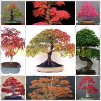 Wholesale 50pcs Maple Tree Seeds colorful maple seeds Rare Exotic Bonsai Potted Gift Plant Decoration Home Garden