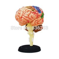 A5 anatomical parts - parts D Master medical human skull skeleton anatomical model brain ANATOMY MODEL teeth model with esqueleto humano anatomia