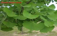 Wholesale Siriusha Fresh Dried Gingko Leaf Tea g Pure Natural Whole Leaf Heart Healthy Pistachio The ancient ginkgo tree