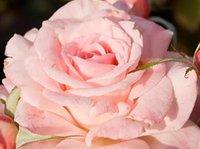 1500шт. Набор Anhui Kara розовый Двойные лепестки Attrack Bee GARDEN rugosa Thunb Розовый цветок Семя каждую минуту отлично и важно Уважаемый