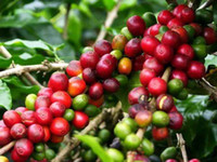 arabica plant - Coffee Bean Seeds ARABICA COFFEE Plant Coffea Catura Arabica SEEDS seeds