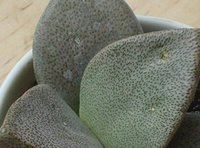 Wholesale 50pcs a Set Pleiospilos simulans seed Home GARDEN GIFT FOR Friend Beautiful GOOD Seed Price Amazing