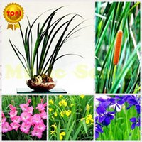Wholesale 1bag Pampas water grass seeds giant fruit rainbow exotic flower seeds potted tomato bonsai home garden