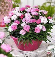 Wholesale Carnation flower seeds Family is kind of fragrant flowers Cut flowers carnation seed Potted balcony flowers Sowing seasons To mother s flowe
