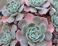 Wholesale 200Pcs A Set Echeveria Dondo Rare Seed Sun Or Rain Every Minute Is Excellent And Important For All People
