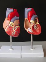anatomical heart model - medical human skull skeleton anatomical model DELUXE HEART ANATOMY LIFE SIZE MODE teeth model with esqueleto humano anatomia