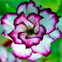 adenium seeds - 1 Real Rare Desert Rose Seeds White and Purple Side Garden Home Bonsai Balcony Flower Adenium Obesum Seeds